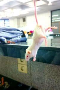 Testy muzyki na szczurach